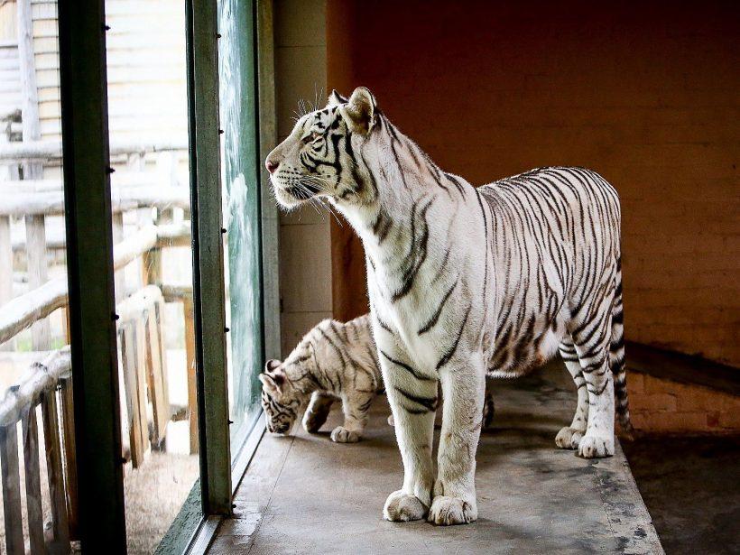 зоопарк сафари белый тигр