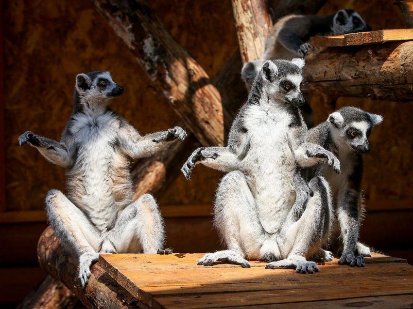 зоопарк сафари лемур